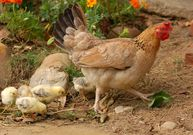 Jak si vyrobit účinné hnojivo ze slepičinců, čili ptačí guano