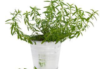 Estragon | Pelyněk - kozalec | Artemisia dracunculus