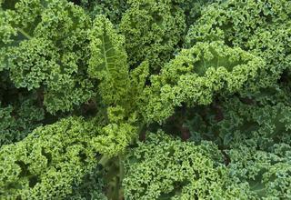 Kapusta kadeřavá | Kadeřávek,Jarmuz | Brassica oleracea var. acephala