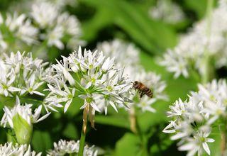 Medvědí česnek | Allium ursinum