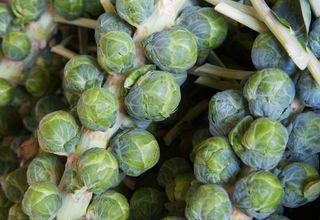 Řůžičková kapusta | Pupencová kapusta | Brassica oleracea L. conv. oleracea var. gemmifera