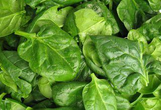 Špenát setý | Spinacia oleracea