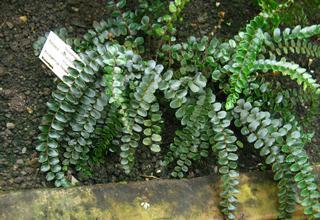 Temnotka | Knoflíkovka | Pellaea rotundifolia