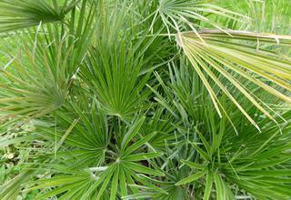 Žumara nízká | Chamaerops humilis