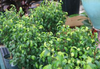 Fíkovník malolistý | Břízový fíkus | Ficus benjamina