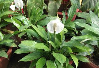 Lopatkovec | Spathiphyllum