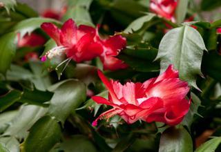 Vánoční kaktus | Schlumbergera truncata