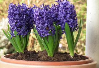 Hyacint,Hyacinthus orientalis
