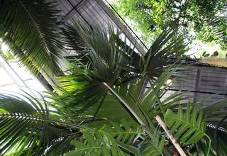 Rajská palma | Howea forsteriana,Kentia forsteriana