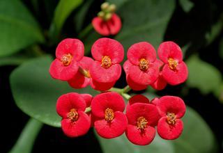 Kristova koruna,Trnová koruna | Euphorbia milii,Euphorbia splendens