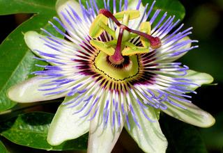Mučenka | Passiflora