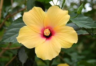 Čínská růže,Ibišek | Hibiscus rosa - sinensis
