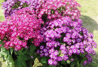 Starček | Popelka | Cineraria cruentus,Senecio hybridus