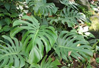 Monstera | Monstera deliciosa,Philodendron pertusum