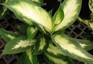 Mramornatka | Dieffenbachia maculata