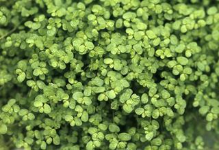Domácí štěstí | Helxine soleirolii,Soleirolia soleirolii
