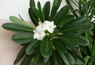 Madagaskarská palma,Pachypódium | Stepní hvězda | Pachypodium lamerei