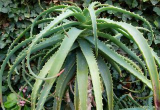Aloe | Aloe arborescens