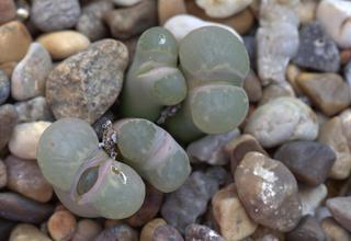 Živé kameny | Lithops