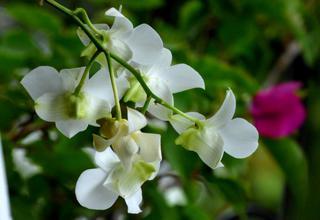 Stromobytec | Dendrobium