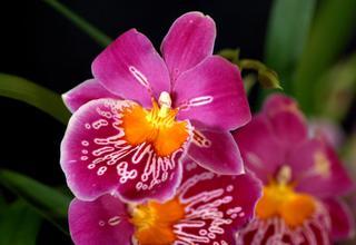 Miltoniopsis | Maceškovitá orchidej | Miltoniopsis