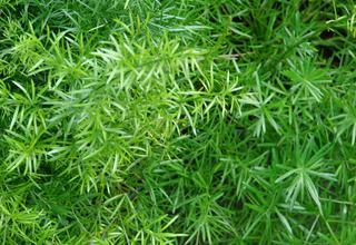 Asparágus | Okrasný chřest | Asparagus