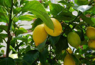 Pomerančovník,Citroník | Mandarinkovník | Citrus