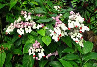 Klerodendrum | Blahokeř | Clerodendrum
