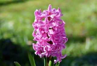 Hyacint | Hyacinthus orientalis
