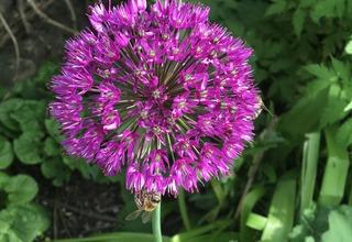 Okrasný česnek | Allium
