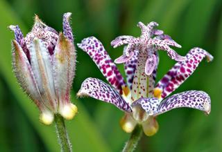 Liliovka | Hadí lilie | Tricyrtis hirta