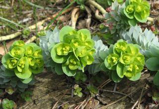 Pryšec | Euphorbia