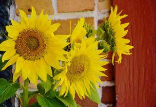 Slunečnice | Sluneční květ | Helianthus