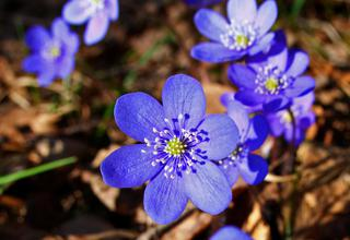 Jaterník trojlaločný | Hepatica nobilis