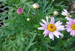 Pařížská kopretina | Argyranthemum