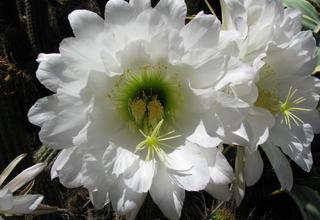 Echinopsis | Selský kaktus | Echinopsis