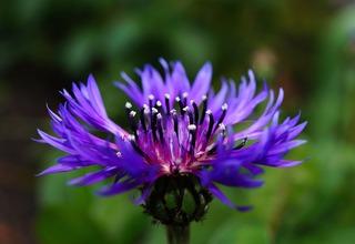 Chrpa | Centaurea