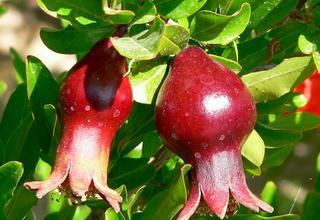 Granátové jablko | Marhaník | Punica granatum