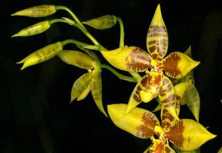 Rosioglosum  | Tygří orchidej | Rossioglossum