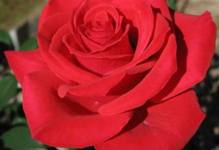 Růže | Rosa