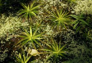 Řezan pilolistý | Vodní aloe | Stratiotes aloides