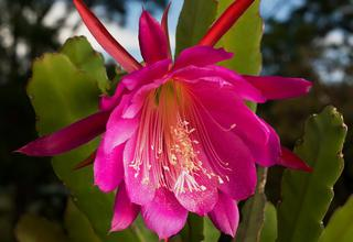 Epifylum,Fylokaktus | Listokvět | Epiphyllum