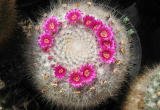 Mamilárie | Cecuň | Mammillaria