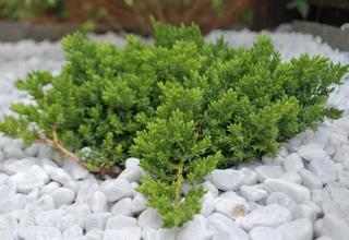 Jalovec | Juniperus