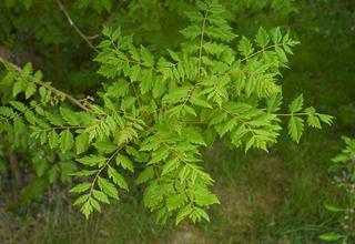 Svitel latnatý | Koelreuteria paniculata