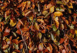 Buk lesní, Buk obecný | Fagus sylvatica