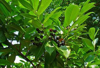 Střemcha vavřínová,Bobkovišeň lékařská | Prunus laurocerasus