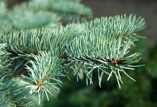 Smrk | Picea