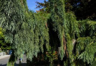 Sekvojovec | Mamutí strom | Sequoiadendron