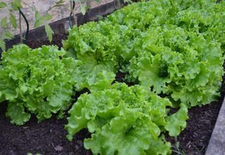 Salát hlávkový | Lactuca sativa var. capitata